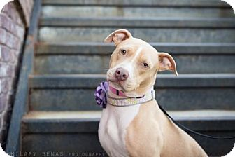 Pit Bull Terrier Mix Dog for adoption in Brooklyn, New York - Ashley Scott