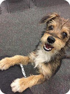 Terrier (Unknown Type, Medium) Mix Puppy for adoption in La Verne, California - Dixon