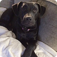 Labrador Retriever Mix Puppy for adoption in Sagaponack, New York - Lacy