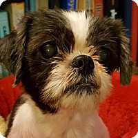 Shih Tzu Dog for adoption in Urbana, Ohio - Kori Montgomery