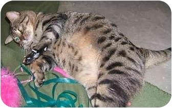 Domestic Shorthair Cat for adoption in San Diego, California - Bob
