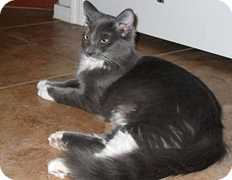 Domestic Longhair Kitten for adoption in Phoenix, Arizona - Rosemary