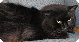 Domestic Longhair Cat for adoption in Jackson, Michigan - Ham