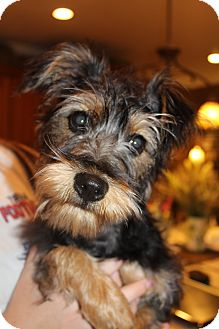 Yorkie, Yorkshire Terrier/Schnauzer (Standard) Mix Puppy for adoption in Hagerstown, Maryland - Pepper Potts