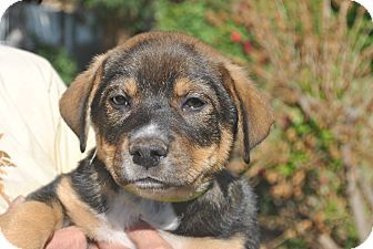 Australian Shepherd/German Shepherd Dog Mix Puppy for adoption in Phoenix, Arizona - Zeke