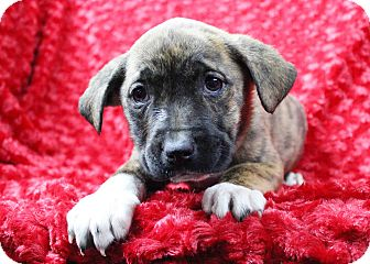 Blue Heeler/Pit Bull Terrier Mix Puppy for adoption in Westminster, Colorado - Suede