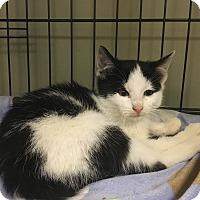 Adopt A Pet :: Chicory - Island Park, NY