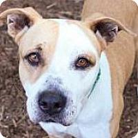 Adopt A Pet :: Cleopatra - Bellevue, WA