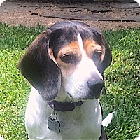 Adopt A Pet :: Ziggy - Houston, TX