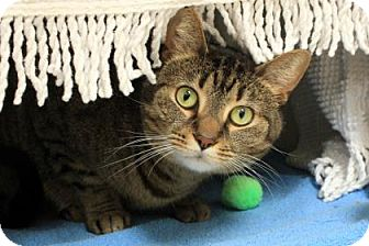 Domestic Shorthair Cat for adoption in Pittsburgh, Pennsylvania - Gretta
