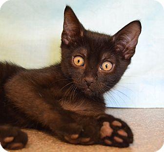 Domestic Shorthair Kitten for adoption in Larned, Kansas - Joey