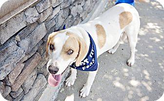 Husky/Hound (Unknown Type) Mix Dog for adoption in Youngsville, North Carolina - Banjo