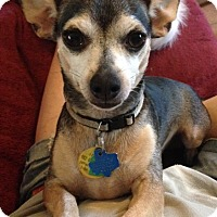 Chihuahua Mix Dog for adoption in Garland, Texas - Lil Bit