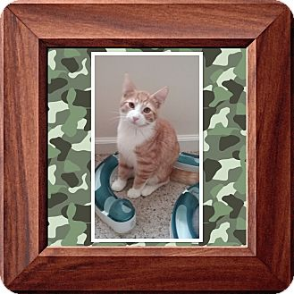 Domestic Shorthair Kitten for adoption in Cedar Springs, Michigan - HULK