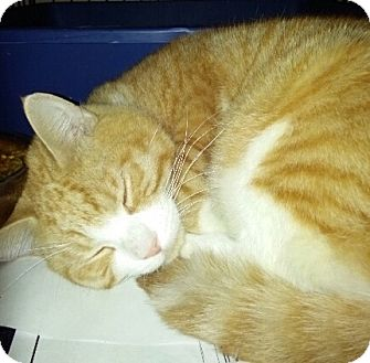 Domestic Shorthair Cat for adoption in Bronx, New York - DJ