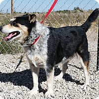 Border Collie/Australian Cattle Dog Mix Dog for adoption in Sterling, Colorado - Caroline