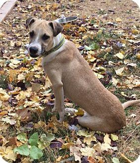 Labrador Retriever Mix Puppy for adoption in Fort Collins, Colorado - Cody