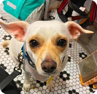 Pug/Chihuahua Mix Dog for adoption in New York, New York - Lulubell