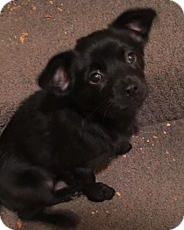 Labrador Retriever/Terrier (Unknown Type, Medium) Mix Puppy for adoption in Hedgesville, West Virginia - Onyx