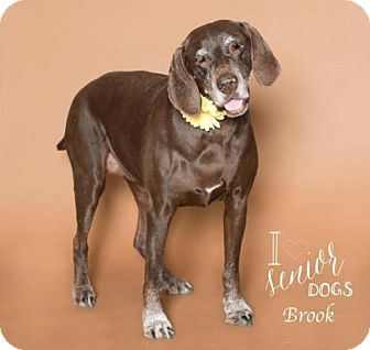 Labrador Retriever/German Shorthaired Pointer Mix Dog for adoption in Indianapolis, Indiana - Brook