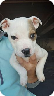 American Bulldog/Cattle Dog Mix Puppy for adoption in Fort Collins, Colorado - Posh Spice (FORT COLLINS)