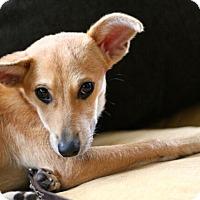 Adopt A Pet :: Bambi - Mt. Prospect, IL