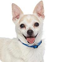 Adopt A Pet :: Henry Higgins - Los Angeles, CA
