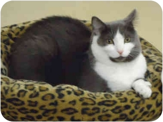 Domestic Shorthair Cat for adoption in Chicago, Illinois - Miss Lillian