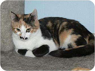 Calico Cat for adoption in Jenkintown, Pennsylvania - Sabrina - UPDATED!