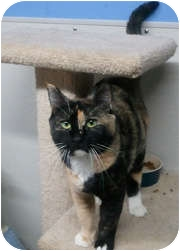 Calico Cat for adoption in Anchorage, Alaska - Sybil