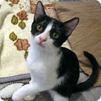 Domestic Shorthair Kitten for adoption in Mission Viejo, California - Luke