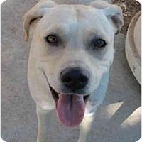 Boxer/Labrador Retriever Mix Dog for adoption in Las Cruces, New Mexico - Jewel