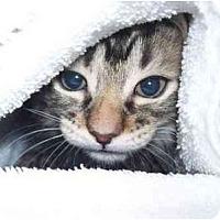 Adopt A Pet :: Fozzy - Gilbert, AZ