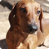 Adopt A Pet :: Darby - Austin, TX