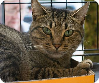 Domestic Shorthair Cat for adoption in New York, New York - Mint Julep