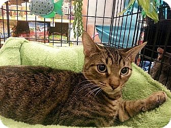Domestic Shorthair Cat for adoption in Tampa, Florida - Jase