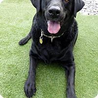 Adopt A Pet :: Kobe - Falls Church, VA