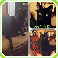 Adopt A Pet :: Mr. Tips - Toronto, ON