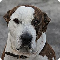 Adopt A Pet :: George - Fort Lauderdale, FL