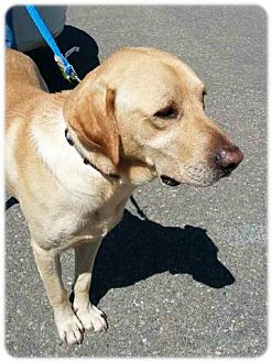 Labrador Retriever Mix Dog for adoption in Broomfield, Colorado - Palestine