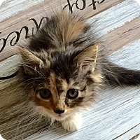 Calico Kitten for adoption in Monrovia, California - Nala