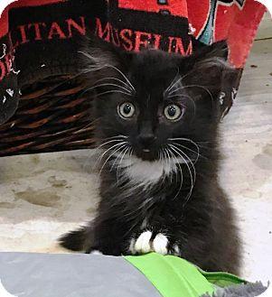 Domestic Shorthair Kitten for adoption in Orange, California - Shamey