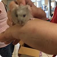Adopt A Pet :: Lil Momma - Camden, DE