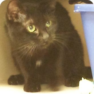 Domestic Shorthair Cat for adoption in Oakland Park, Florida - Gus