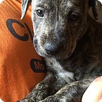 Adopt A Pet :: Sirus (6 lb) Video! - SUSSEX, NJ