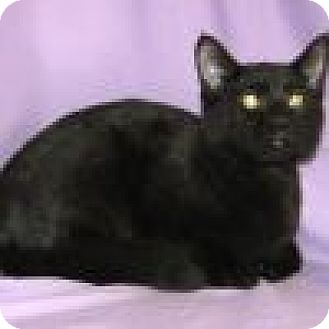 Domestic Shorthair Cat for adoption in Powell, Ohio - Ebony