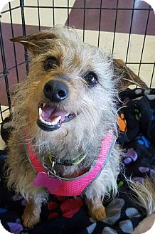 Yorkie, Yorkshire Terrier/Jack Russell Terrier Mix Dog for adoption in Colorado Springs, Colorado - Ginger