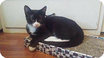 Domestic Shorthair Kitten for adoption in Seminole, Florida - Nitro