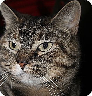Domestic Shorthair Cat for adoption in Chicago, Illinois - Indy