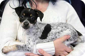 Jack Russell Terrier Mix Puppy for adoption in Harrison, New York - Piper